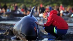 Na pláži uhynul obrovský húf veľrýb, dobrovoľníci zachránili asi sto z nich