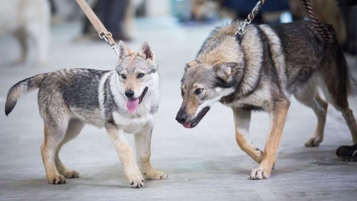 Fotogaléria: Čuvač i vlčiak. Predstavili päť národných plemien psov