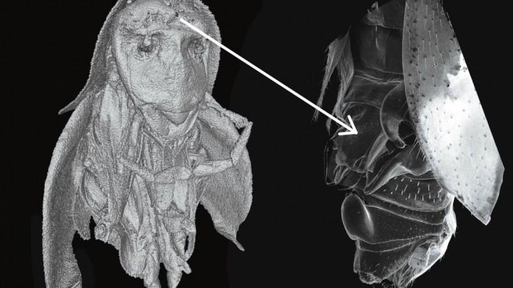 Slovenskí vedci objavili vo Vietname nový neobvyklý druh švába