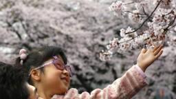 Do Tokia prišla typická japonská jar, začali kvitnúť sakury