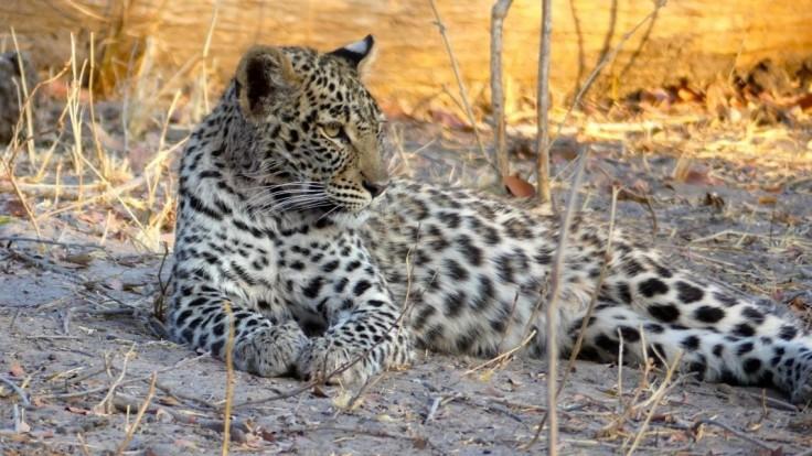 Na runway letiska vbehol leopard, naháňali ho policajti aj lesníci