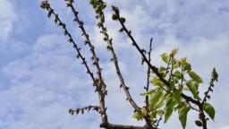 Ovocinári sa snažili ochrániť úrodu, ochladenie si však vyžiadalo svoju daň