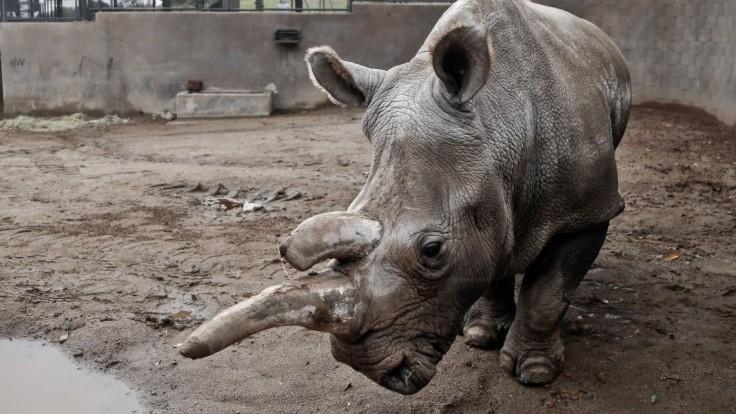 Posledný nosorožec svojho druhu má profil na známej zoznamke