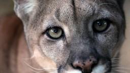 Z českej zoo utiekla puma, pátra po nej polícia