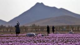 V boji proti afganským drogovým kartelom môže pomôcť šafrán