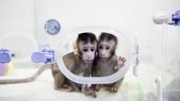 V Číne už vedia klonovať primáty, úspech otvára cestu k človeku