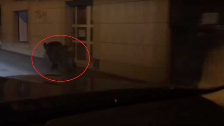 Nakrútili diviaka, ktorý pobehoval v centre Bratislavy