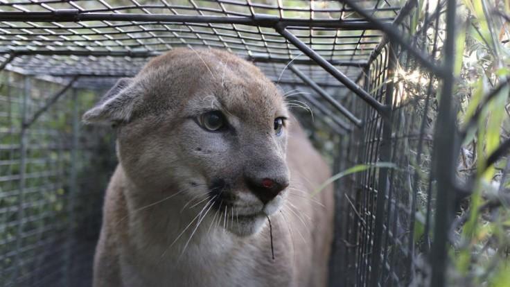 Puma zabila cyklistu a odvliekla ho, druhému sa podarilo ujsť