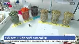 V Prešove vyšľachtili odrodu rumančeka, zvýšili liečivé účinky
