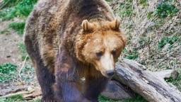 Pytliak zastrelil medvieďa, mláďa malo prestrelené zadné laby