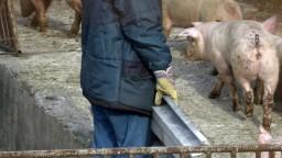 Na Slovensku je africký mor ošípaných, potvrdili ho prvý raz