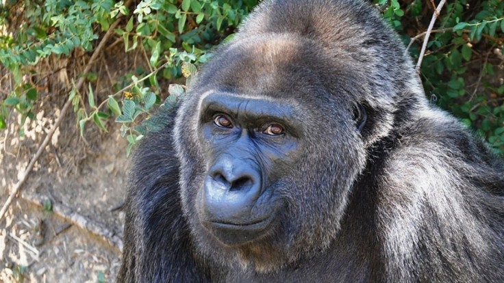 Zomrela šéfka Trudy, najstaršia gorila chovaná v zajatí