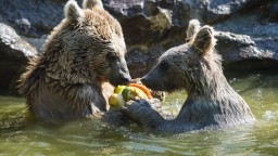 Francúzi zápasia s medveďmi. Vládu žiadajú, aby ich odstránila z hôr