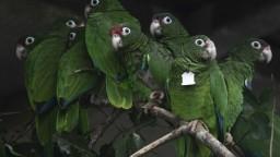 Objavili najväčšieho papagája na svete. Zrejme jedol iné papagáje