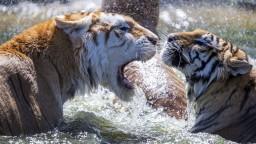 V byte Slovenky objavili tigrie mláďatá, šelmy našli vo vani