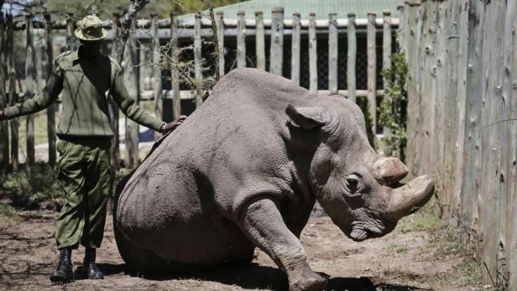Poslednú nádej na záchranu nosorožca priniesli zmrazené spermie