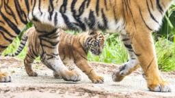Príbeh tigríčat, ktoré odobrali Slovenke, má smutný koniec