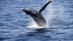 Posledné veľryby vypustili na slobodu, donútili ich k tomu protesty