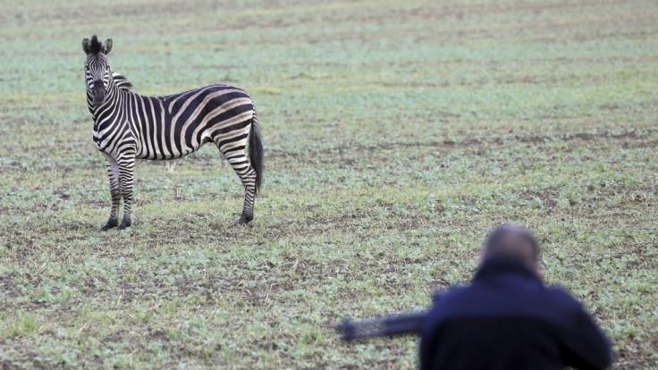Zebra po úteku z cirkusu spôsobila nehodu na diaľnici, museli ju zastreliť