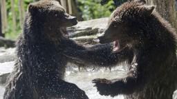Tatranské medvede prekonali zábrany, jedia odpadky z kontajnerov