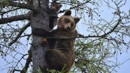 Čakanie na tragédiu? Počet stretov s medveďom sa v Tatrách zdvojnásobil