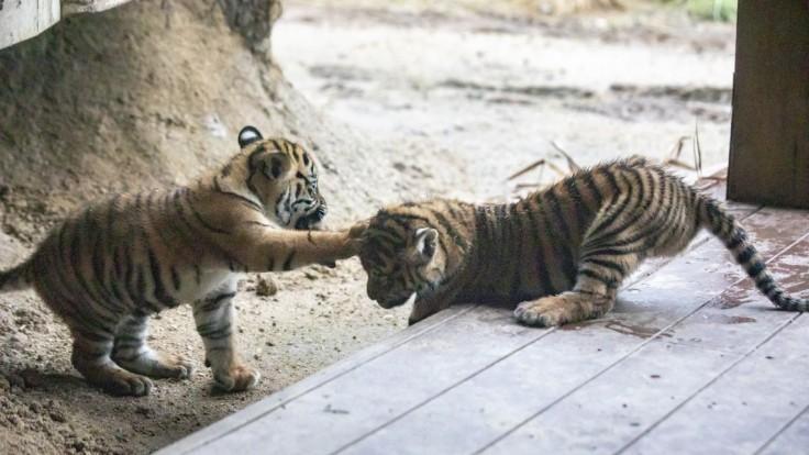 Slovenka, ktorá chcela zachrániť dve tigríčatá, spoznala svoj trest