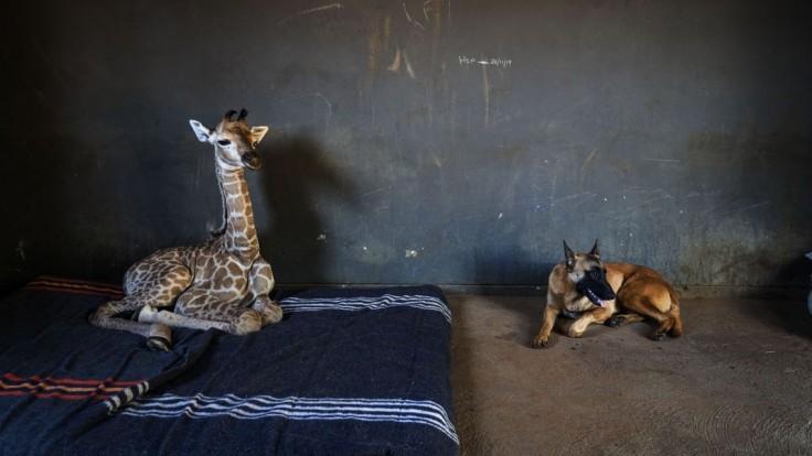 Raritné zvieracie priateľstvo. Pes odmieta opustiť malú žirafu