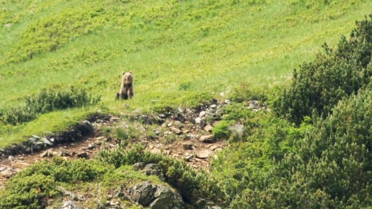 Medveď útočil na Považí, dohryzenú obeť zachránil kolega