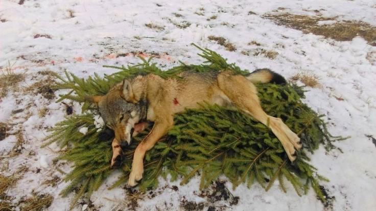 Ministerstvo zastavuje lov vlka na Slovensku. Kvóta sa naplnila