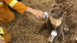 Požiare v Austrálii ohrozujú vodu i zvery. Uhynula už tretina koál