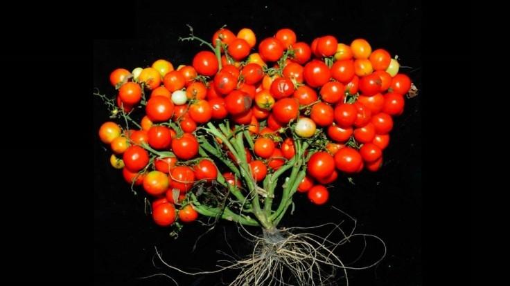 Geneticky upravený rajčinový ker pre mestské poľnohospodárstvo