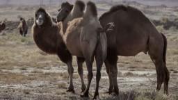 Na austrálske sucho doplatia aj ťavy. Zaútočia na ne ostreľovači
