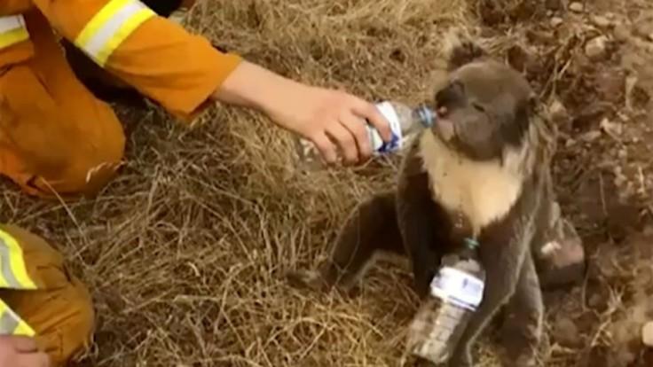 Koaly chcú evakuovať na Nový Zéland. K petícii sú však výhrady