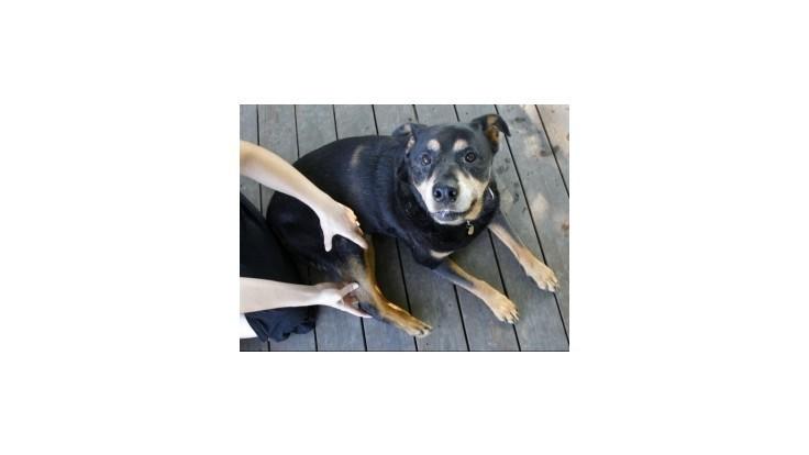 Zákon o držaní bojových plemien psov sa sprísni