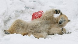 Ľadové medvede môžu vymrieť. Sú príkladom klimatickej zmeny