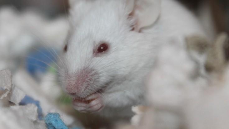 Génová terapia čiastočne obnovila zrak úplne slepým myšiam