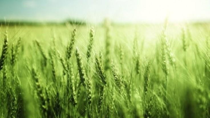 Geneticky upravená pšenica sa chváli o 11 percent vyššou úrodou