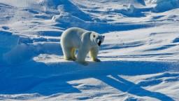 Ľadovým medveďom mizne územie, približujú sa k obydliam