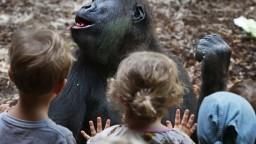 Gorily v zoo začali kašľať, mali pozitívny test na koronavírus