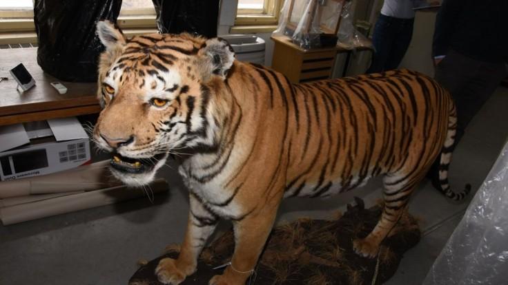Slovák ulovil v Afrike tigra, hrozí mu niekoľkoročný trest