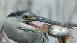 Kormorány trápia rybárov, niektoré druhy rýb vraj môžu vymiznúť