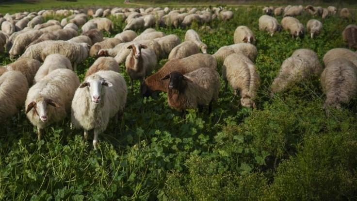 Zatúlanú ovečku po rokoch ostrihali. Nosila desiatky kíl vlny