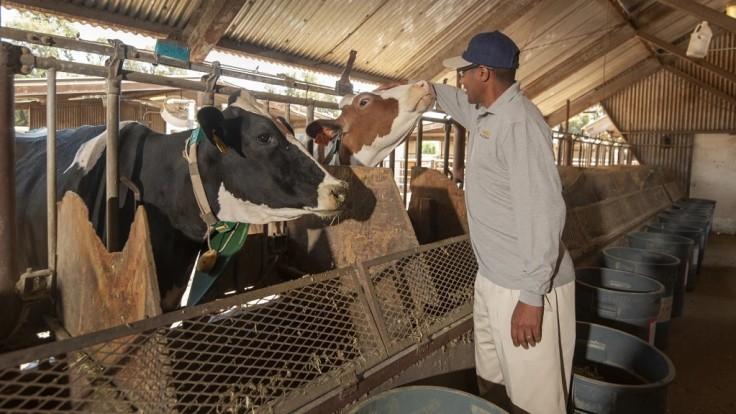 Výživový doplnok z morských rias zníži emisie metánu dobytka až o 82 %