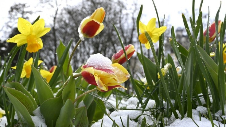 Sneh i rozkvitnuté stromy. Klimatológ vysvetlil, čo je za extrémami