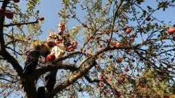 Ovocinárom chcú zvýšiť podporu, plody často nemá kto zbierať