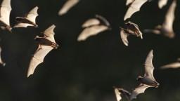 V Číne našli u netopierov 24 doteraz neznámych druhov koronavírusu