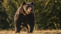 Medzi rodinnými domami sa prechádza medveď, čaká ho smrtiaca injekcia