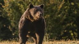 Medveďa, ktorý usmrtil muža, nebude možné identifikovať.  Vzorky z trusu sú znehodnotené
