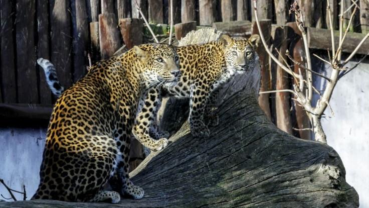 Bratislavská zoo smúti, zahynul 17-ročný leopard cejlónsky