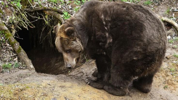 Evidujú problémové jedince, populácia medveďov na Poľane je však stabilná